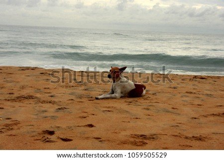 a dog with red spots lies on the beach in Sri Lanka #1059505529