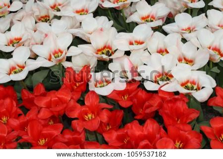 Tulips in the Keukenhof #1059537182