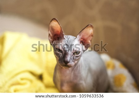 Photo of a domestic cat of the Sphynx breed. Portrait of a bald gray cat that walks the sofa and lies in a rug