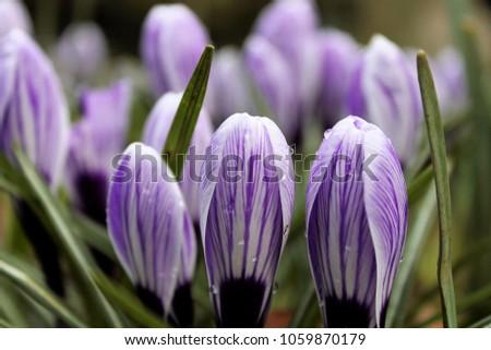 Close up of Purple Crocus  #1059870179