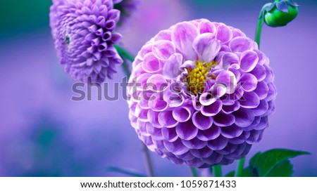 Natural isolated pink dahlia flower close-up photo