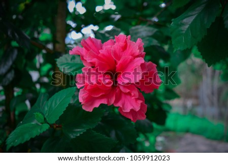 Blossoming of a pink flower very common in tropical countries #1059912023
