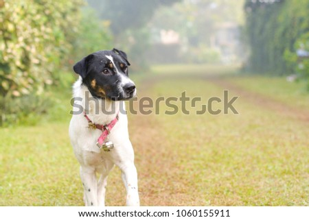 Portrait black and white thai dog walking in park with copy space. #1060155911