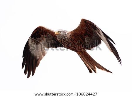 Red Kite in flight #106024427