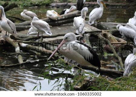 White pelicans sitting on the dry fallen tree in Berlin Zoo #1060335002