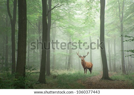 Red deer stag in Lush green fairytale growth concept foggy forest landscape image #1060377443