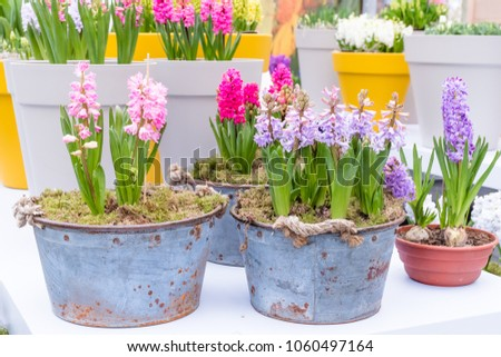 Fresh multicolors of hyacinth spring flower growing in vintage metal pot with green branch, leaves this flower smell good with background yellow pot in cover garden. Symbol of love and romantic. #1060497164