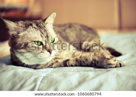 beautiful british cat with green eyes lying on the couch. toned #1060680794