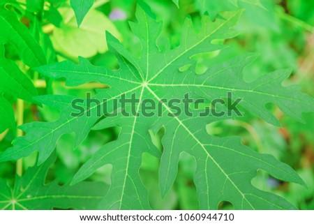 Closeup fresh green papaya leaves textured for background #1060944710