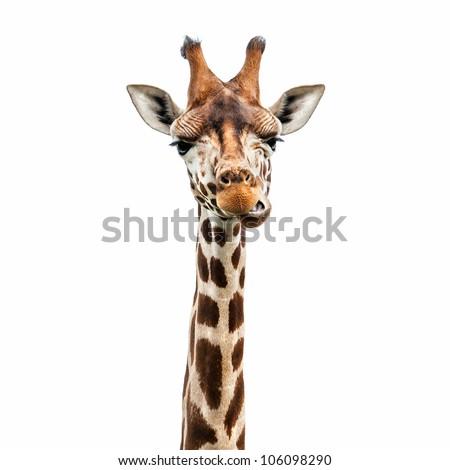 Funny giraffe's face isolated