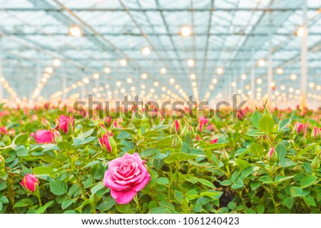 Industrial growth of pink roses in a Dutch greenhouse #1061240423