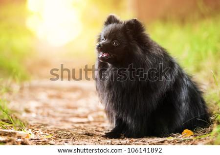Black shpitz in summer park #106141892