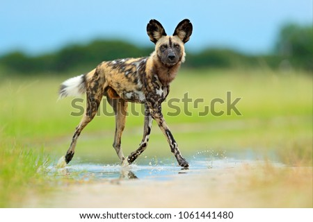African wild dog, Lycaon pictus, walking in the water on the road. Hunting painted dog with big ears, beautiful wild animal. Wildlife from Moremi, Botswana, Africa. #1061441480