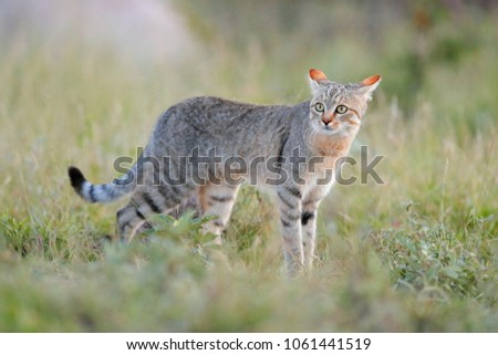 African wildcat, Felis lybica, also called Near Eastern Wild Cat. Wild animal in nature habitat, grass meadow, Nxai Pan National Park, Botswana, Africa. Royalty-Free Stock Photo #1061441519