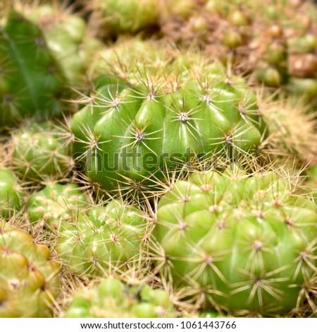 Close up of Cactus background. #1061443766