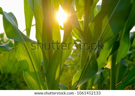 a front selective focus picture of organic young corn at agriculture field.