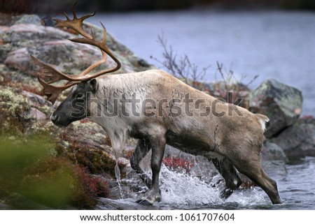 Closeup of a majestic Caribou coming out of the water onto the shoreline Royalty-Free Stock Photo #1061707604
