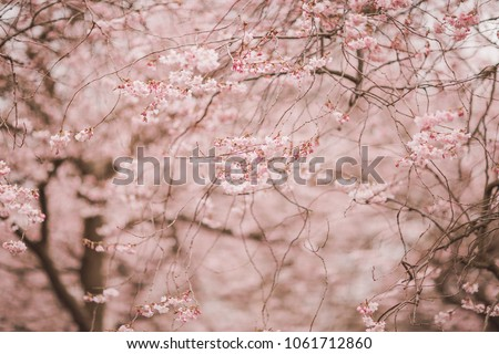 Spring cherry blossoms with free space for text #1061712860