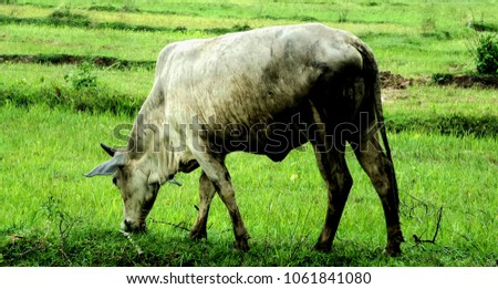 Cows in green field at Lampang Province Thailand. #1061841080