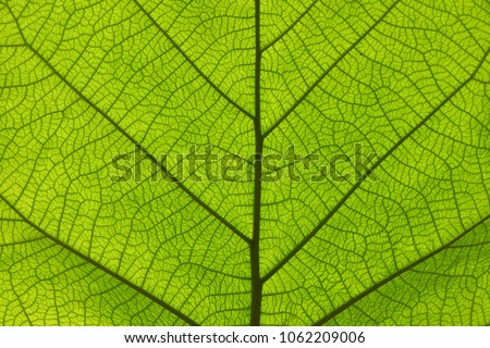 Extreme close up background texture of backlit green leaf veins #1062209006