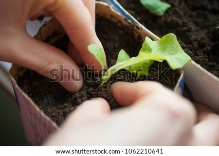 Two hands of woman carefully planting seedlings of salad in fertile soil in bigger pot. Taking care and growth concept. #1062210641