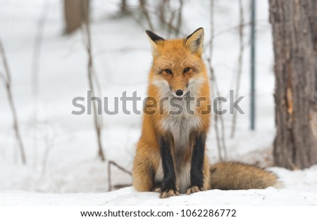Red Fox - Vulpes vulpes, healthy specimen. calmly sits down on a small snow covered patch in the woods.  Seems to pose for his photo.