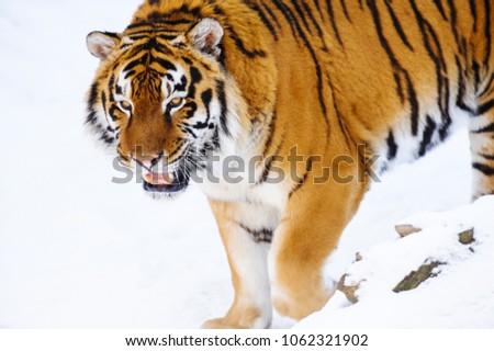 siberian tiger on snow #1062321902