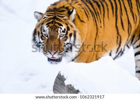 siberian tiger on snow #1062321917