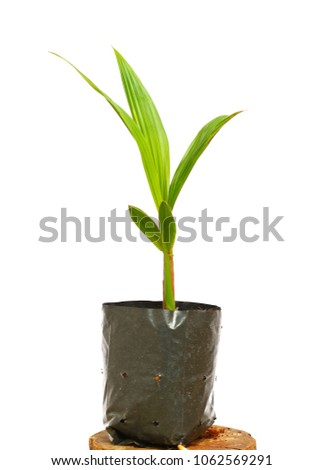 Small coconut growing in a black plastic bag on a white background. #1062569291