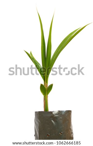 Small coconut growing in a black plastic bag on a white background. #1062666185
