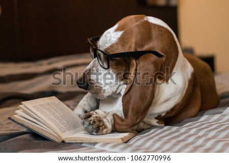 Basset Hound dog brown and white intelligent intellectual reading book of glasses on the bed. #1062770996