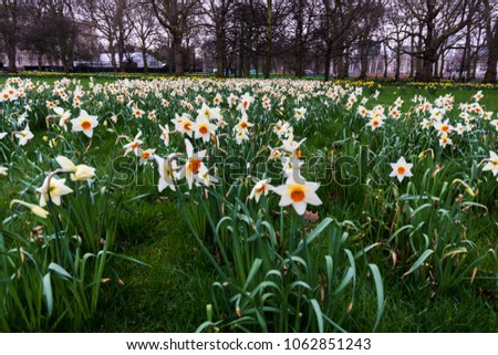 """"""" And then my heart with pleasure fills, And dances with the daffodils."""" Daffodils during Easter.  #1062851243"""