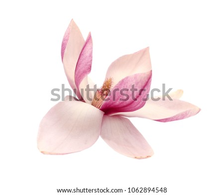 A Magnolia blooming isolate white