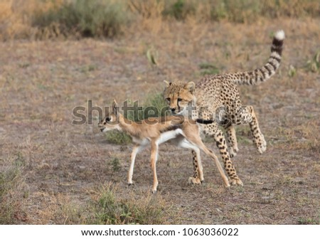 Young cheetah is hunting on thomson's gazelle.  It is a good pictures of wildlife. Photos made with short distance and excellent light.