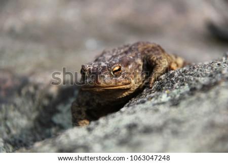 Bufo bufo European toad on stone #1063047248