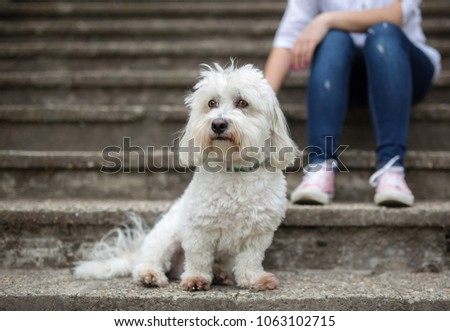Coton de Tulear Dog sitting on stairs #1063102715