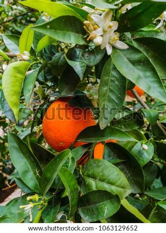 orange in orange tree #1063129652