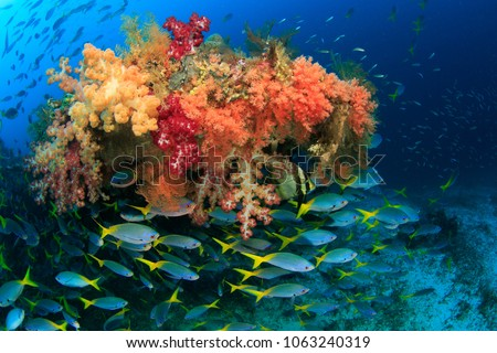 Colorful Fusilier fish schooling and congregating around the Wing of a american fighter plane from worldwar 2 that is overgrown with abundant soft corals in Raja Ampat, Indonesia #1063240319