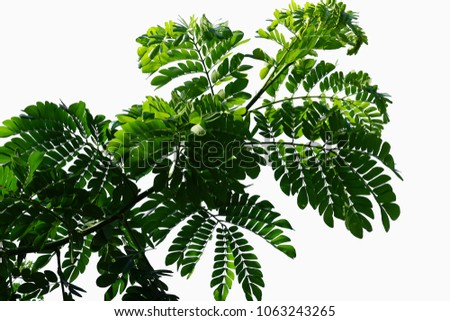 Green leaves of Branch tree isolated on white background with clipping path. #1063243265