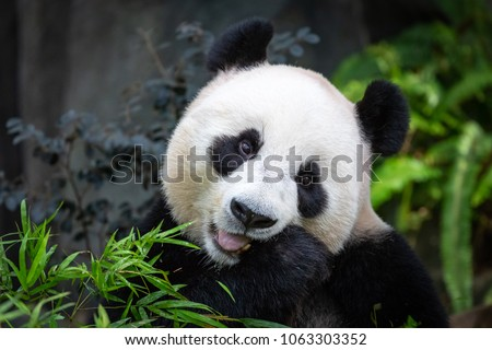 Head and shoulders of Panda sitting in enclosure looking to front and holding bamboo whilst chewing