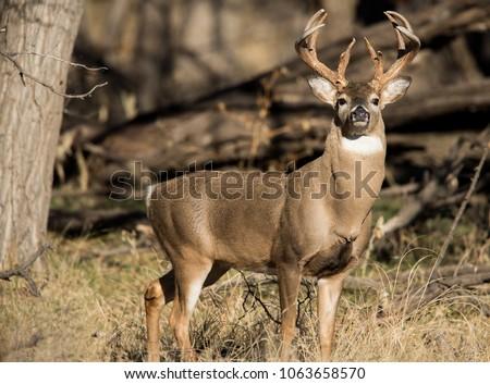 Oklahoma Whitetail Buck 6 Royalty-Free Stock Photo #1063658570