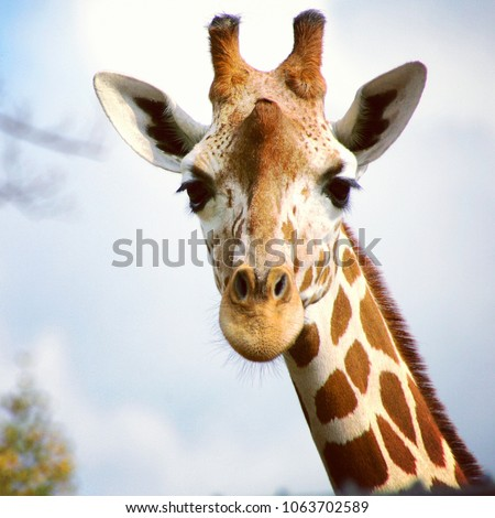 A giraffe looking and listening. #1063702589