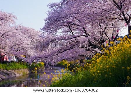 Cherry Blossom (Sakura) along Gojo river, Iwakura City, Aichi Prefecture, Japan #1063704302