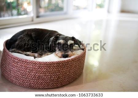 A black miniature schnauzer lying down on dog bed basket #1063733633