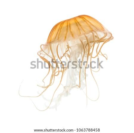 Japanese sea nettle, Chrysaora pacifica, Jellyfish against white background #1063788458