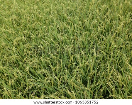 rice is prepared to harvest #1063851752