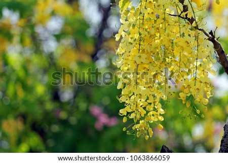 Multiply blooming, yellow in the changing season.  #1063866059
