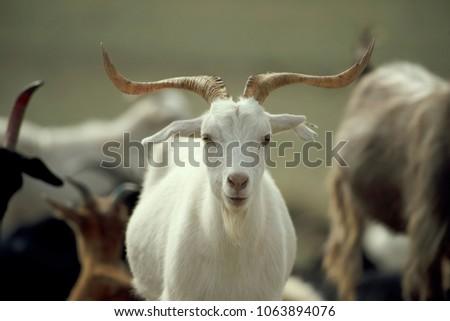 Mongolian white goat #1063894076