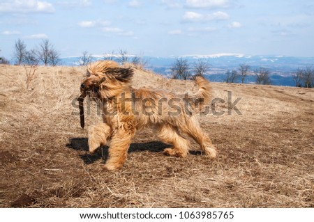 Young dog briard (french shepherd) running with a stick in his mouth on mountain meadow in sunny spring day. Briard´s long hair are flying in the wind. #1063985765