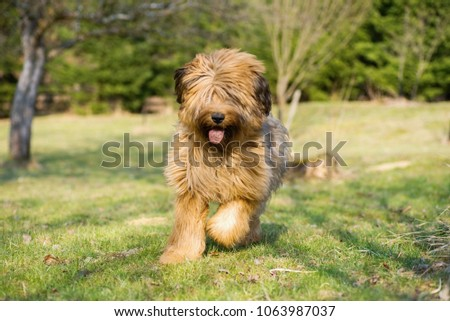 Young female briard puppy (8 months) runs with dirty tongue out on garden lawn on sunny spring day. #1063987037